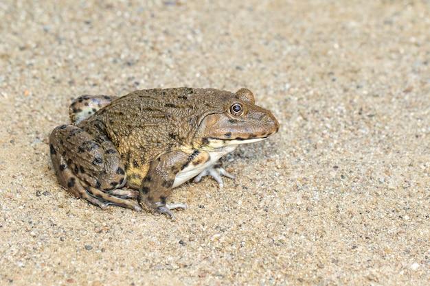 Изображение китайской съедобной лягушки, восточно-азиатской лягушки-быка, тайваньской лягушки (hoplobatrachus rugulosus) на полу. амфибия. animal.