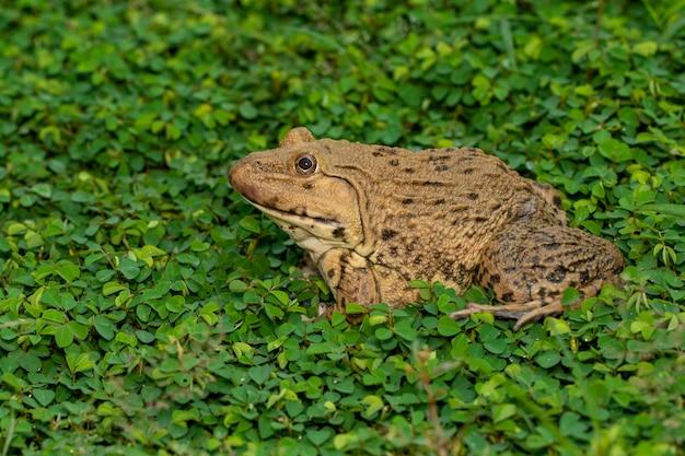 Изображение китайской съедобной лягушки, восточно-азиатской лягушки-быка, тайваньской лягушки (hoplobatrachus rugulosus) на траве. амфибия. animal.