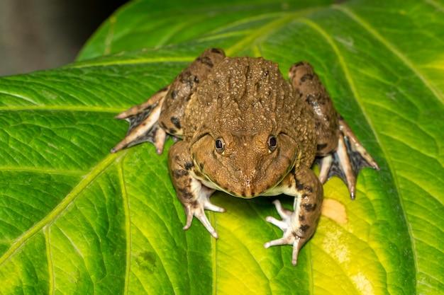 Изображение китайской съедобной лягушки, восточно-азиатской лягушки-быка, тайваньской лягушки (hoplobatrachus rugulosus) на зеленых листьях. амфибия. animal.