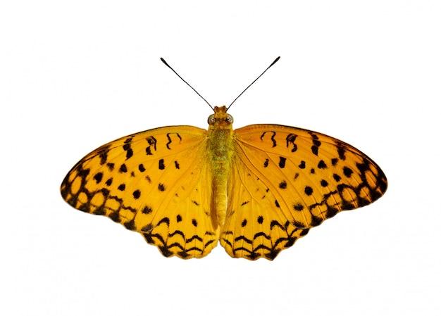 Изображение бабочки леопарда (phalanta phalantha) на белом фоне