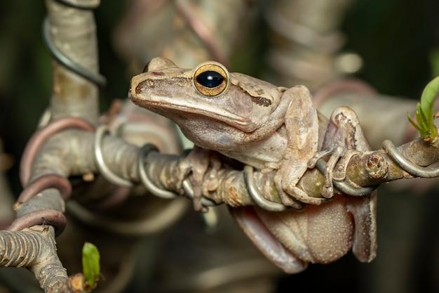 일반적인 나무 개구리, 네 줄 나무 개구리, 황금 나무 개구리, 분기에 (polypedates leucomystax)의 이미지.
