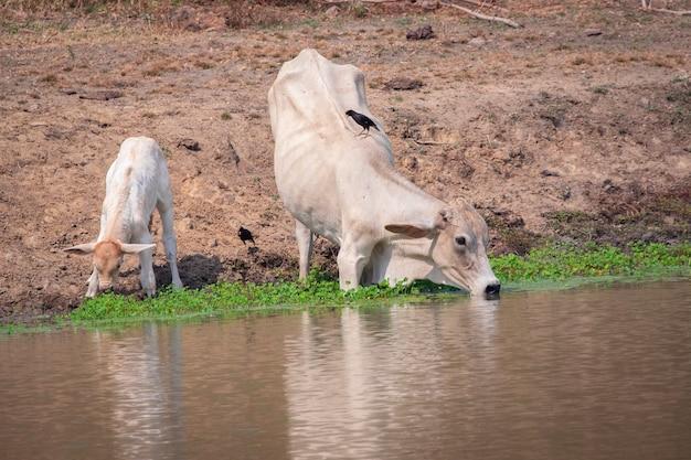 자연 배경의 늪에서 물을 마시는 소의 이미지. 농장 동물.