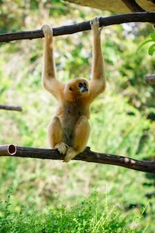 자연 배경에 여성 북부 흰 뺨 긴팔 원숭이의 이미지. 야생 동물.