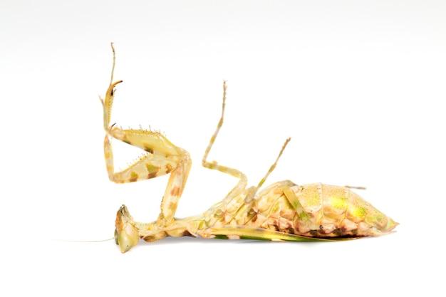 흰색 바탕에 꽃 사마귀의 이미지입니다. 곤충. 동물.