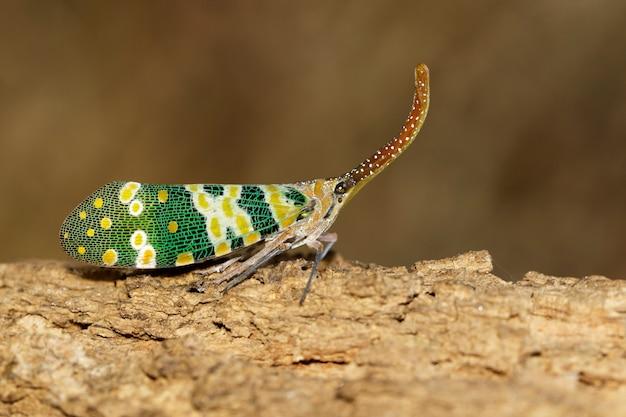 Изображение fulgorid черепашки или lanternfly (pyrops oculata) на природе. насекомое. животное