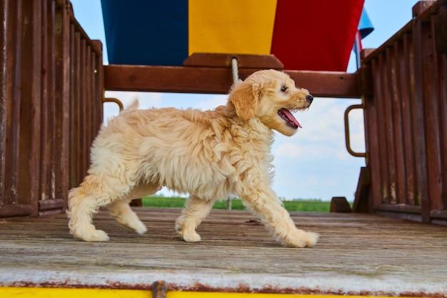 놀이터에서 골든 리트리버 강아지의 이미지