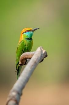 자연 배경의 나뭇가지에 있는 녹색 꿀벌 먹는 새(merops orientalis)의 이미지. 새. 동물.