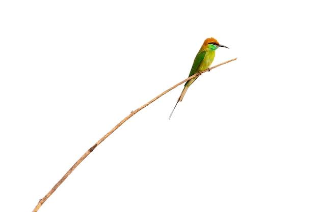 흰색 배경에 나뭇가지에 녹색 bee-eater bird(merops orientalis)의 이미지. 조류. 동물.