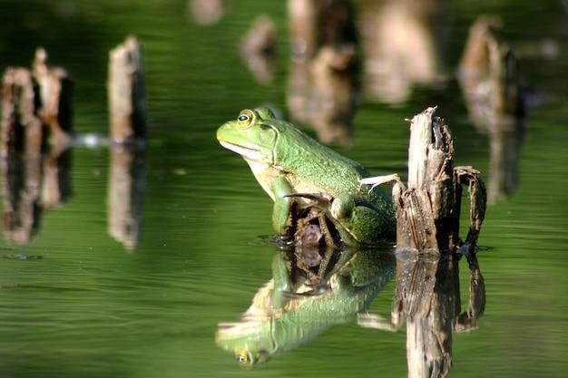 Изображение зеленой лягушки сидит на воде озера среди крепких растений, похожих на палки.