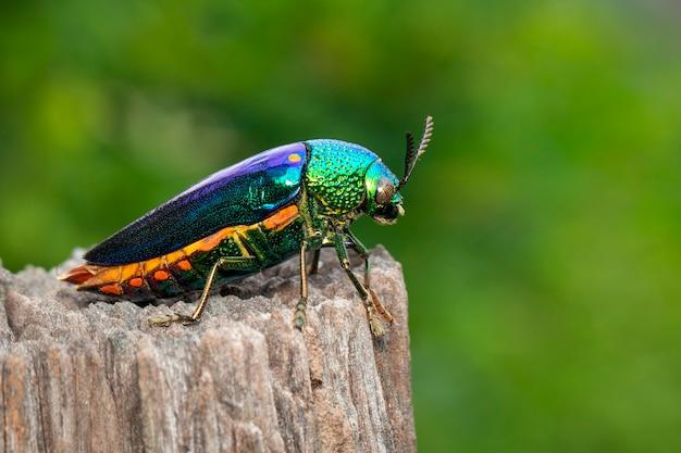 Изображение зеленого жука металлического жука или жука драгоценного камня или металлического древесного жука на зеленых листьях