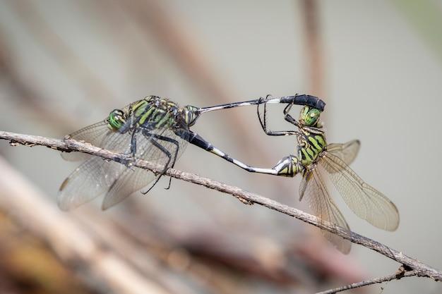 Изображение зеленой стрекозы (orthetrum sabina) спариваются на сухих ветвях на фоне природы. насекомое. животное.