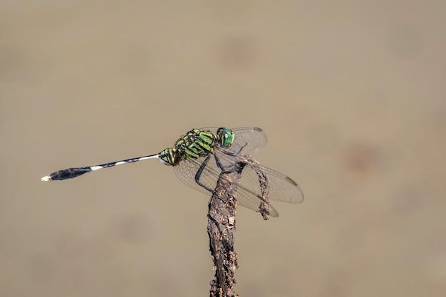 Изображение зеленой стрекозы скиммера (orthetrum sabina) на сухих ветвях на фоне природы. насекомое. животное.
