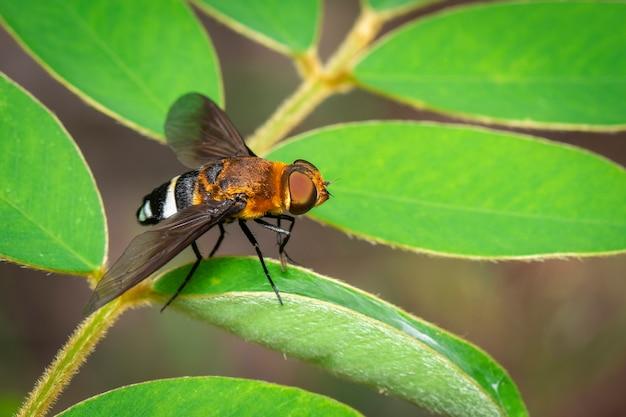 緑の葉の上のハナアブの画像。昆虫。