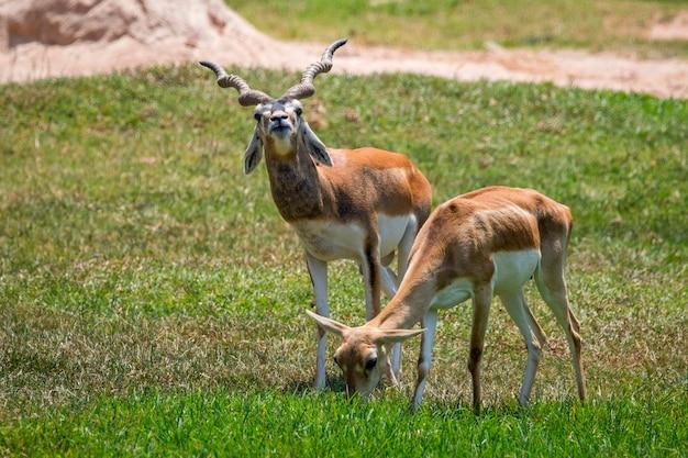 自然の背景にインパラのオスとインパラのメス(aepyceros melampus)の画像。野生動物。