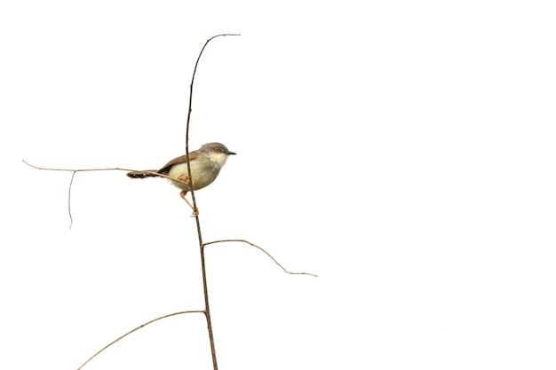 自然界の食虫性鳥(チメドリ科)の画像。