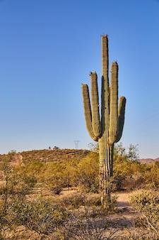 애리조나 사막에 있는 큰 선인장의 이미지