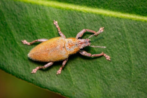 녹색 잎에 잎 먹는 바 구미 (hypomeces squamosus)의 이미지. 곤충. 동물.