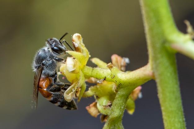 노란색 꽃에 작은 꿀벌 또는 난쟁이 꿀벌 (apis florea)의 이미지는 자연에 꿀을 수집합니다.