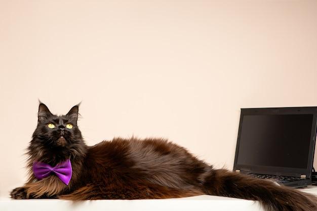 部屋に紫色の弓とラップトップを持つメインクーン猫の画像