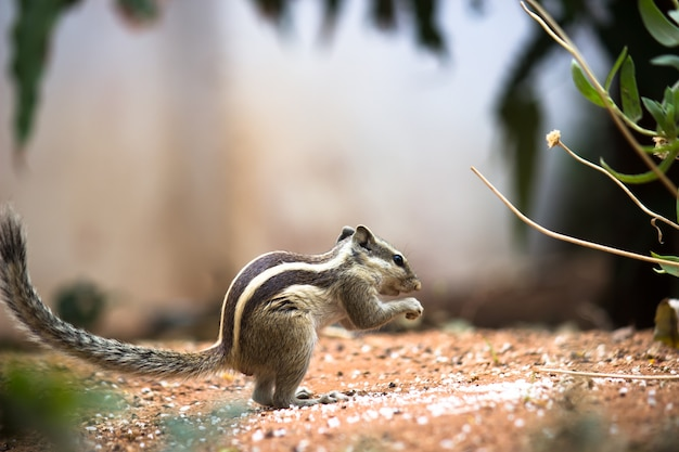 中型の齧歯動物の画像樹上性リスジリスシマリスマーモットまたはプレーリードッグ