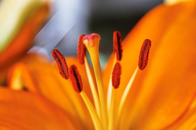 Изображение оранжевой лилии крупным планом на цветочных половых органах, название которой я пока не могу придумать.