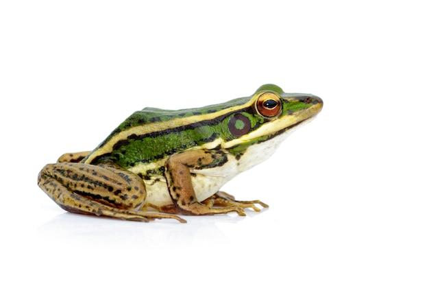 Изображение зеленой лягушки рисовых полей или зеленой лягушки-падиа (rana erythraea). амфибия. animal.