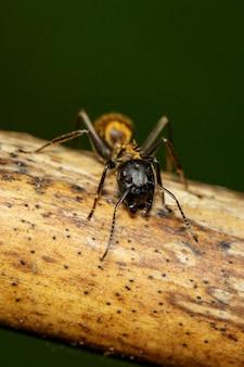 마른 가지에 있는 pheidole jeton driversus ant(pheidole sp.)의 이미지. 곤충,. 동물.
