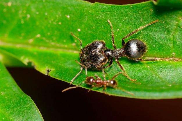 잎에 있는 pheidole jeton driversus ant(pheidole sp.)의 이미지. 곤충,. 동물.