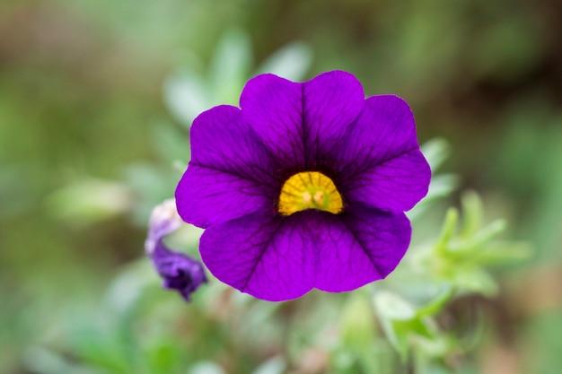 정원에 퍼플 퍼지는 페튜니아(petunia x hybrida)의 이미지. 꽃들.