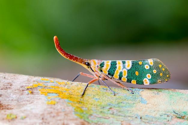 Изображение pyrops candelaria или фонарь муха на природе. жук, насекомое.