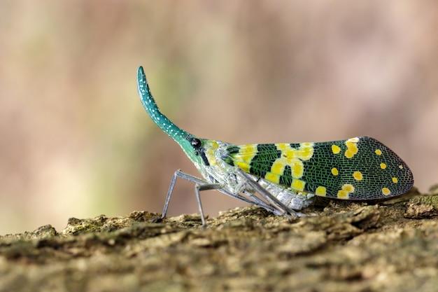 Изображение черепашки фонарика pyrops viridirostris или lanternfly (pyrops oculata) на дереве. насекомое. animal.
