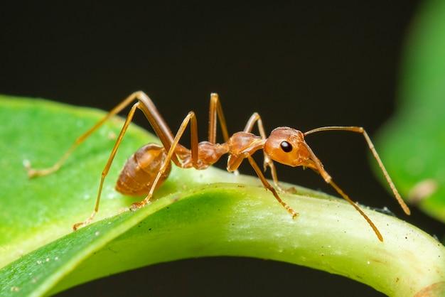 緑の葉に赤アリ(oecophylla smaragdina)のイメージ。昆虫。動物