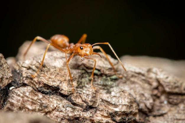Изображение красного муравья (omaophylla smaragdina) на дереве. насекомое. animal.