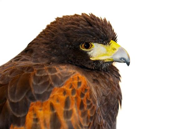 レッドホークのイメージ。鳥。野生動物。