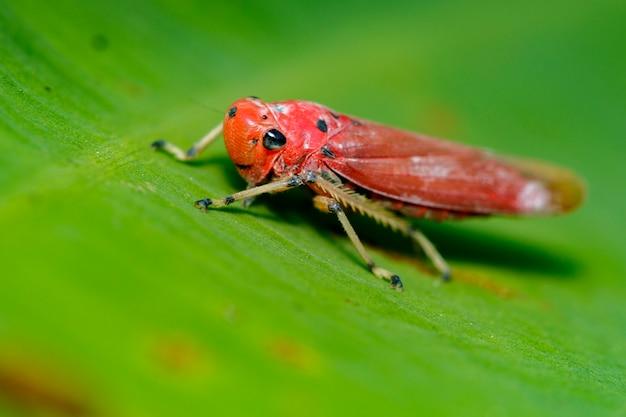 Изображение красного листохвоста (bothrogonia sp., cicadellidae / homoptera) на зеленых листьях. насекомое животное