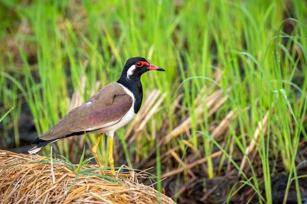 자연에 붉은 국립 공원 lapwing 새 (vanellus indicus)의 이미지.