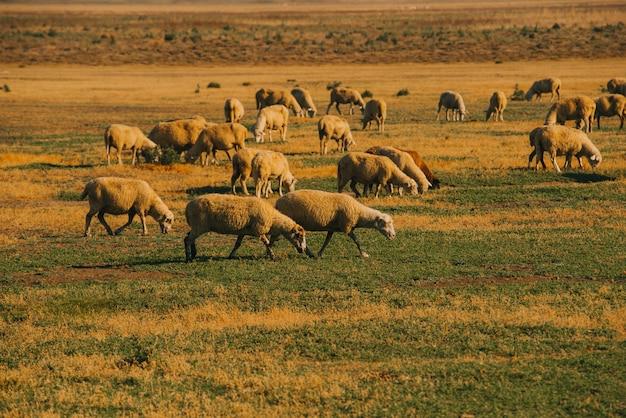 Изображение овец едят траву на сельскохозяйственных угодьях во время восхода солнца, утреннее время.