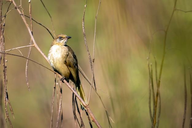 자연에 행진 귀 벌브 새의 이미지. (pycnonotus blanfordi)