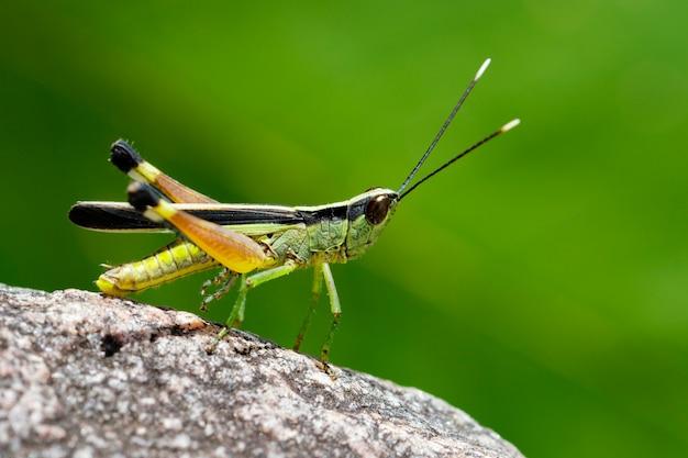 Изображение сахарного тростника с белыми наконечниками саранчи (ceracris fasciata) на скале. насекомое. animal. caelifera., acrididae