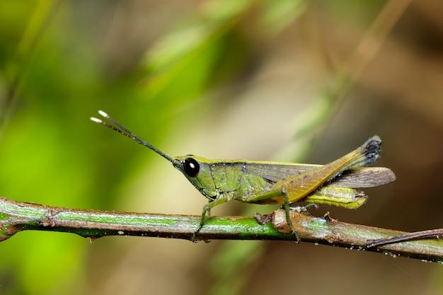 Изображение сахарного тростника с белыми наконечниками саранчи (ceracris fasciata) на естественном. кузнечик. насекомое. animal. caelifera., acrididae