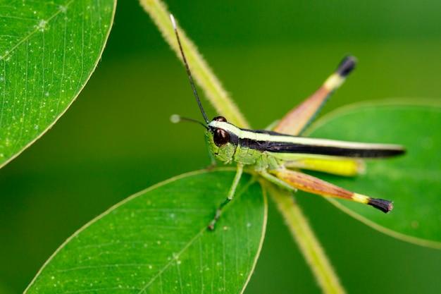 Изображение кузнечика саранчи сахарного тростника с белыми наконечниками (ceracris fasciata) на зеленых листьях. насекомое животное. caelifera., acrididae