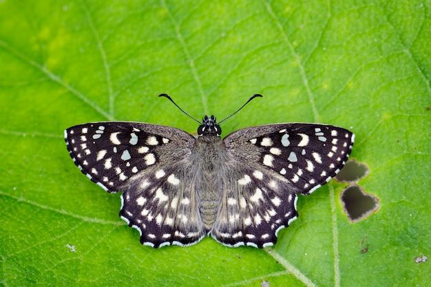 Изображение пятнистого угла бабочки (капрона агама агама мур, 1858) на зеленых листьях. насекомое животное.
