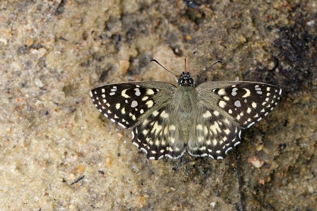 Изображение бабочки под пятнистым углом (капрона агама агама мур, 1858) на земле. насекомое животное.