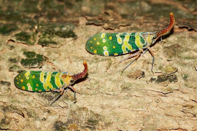 Изображение 2 fulgorid черепашки или lanternfly (pyrops oculata) на дереве. насекомое. animal.