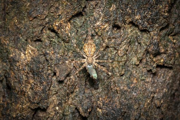 꼬리가 둘 달린 거미(hersilia sp.)의 이미지는 나무에 있는 미끼를 먹습니다. 곤충.