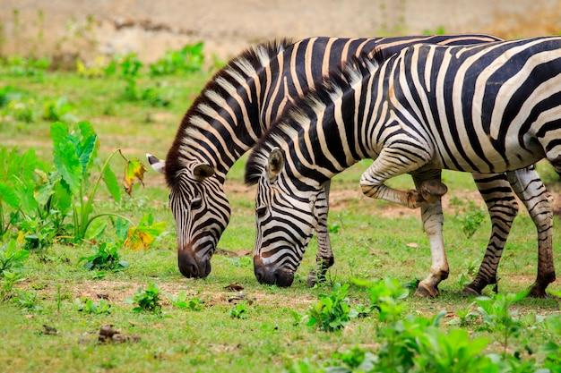 2匹のシマウマが自然に草を食べているイメージ。野生動物。