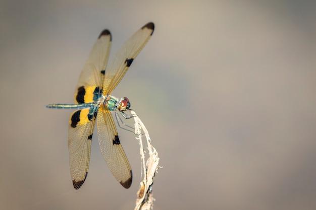自然の背景にさまざまなフラッタートンボ(rhyothemis variegata)の画像。虫。動物