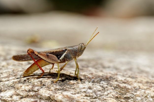 Изображение бело-полосатого кузнечика (stenocatantops splendens) на скале. насекомое. animal.