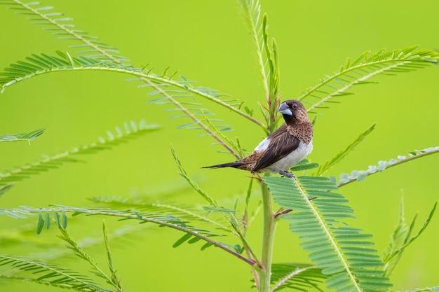 자연 배경에 흰색 엉덩이 munia 새 (lonchura striata)의 이미지. 조류. 동물.