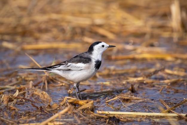 Изображение белой птицы трясогузки (motacilla alba). птицы. animal.